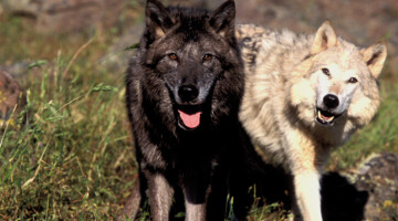 Attitude: Two Wolves Inside Us
